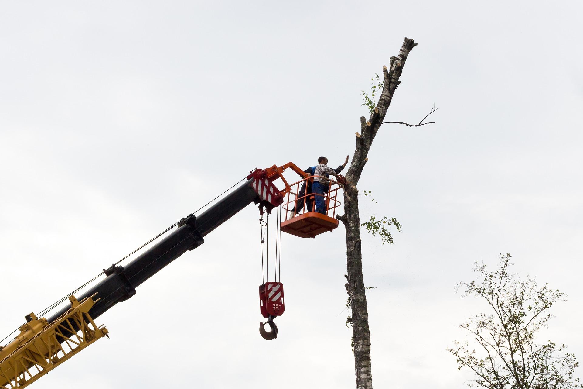 ścinanie drzewa na żurawiu leśnym